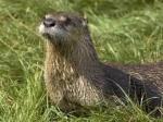 Nerdy Otter 515