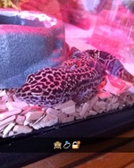 FionaRamboGecko