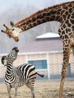 zebrage