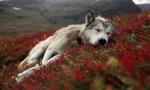 Wolfken