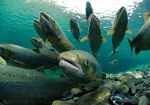 salmon profugo