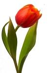 Tulipe40