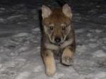 blackwolfdog