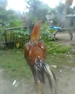 dewadaru