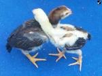 plamboyan cock
