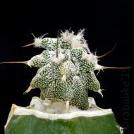 Mammillaria 1040-40