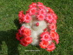 Mammillaria 1238-46