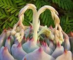 Echinopsis 1340-89