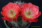 Echinopsis 1379-2