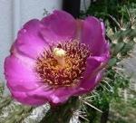 Kaktusbetty