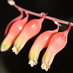 Asphodelaceae 1595-53