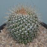 Echinopsis 2528-82