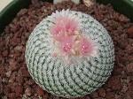 Kaktus-Frosti
