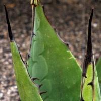 Bromeliaceae 5160-3