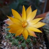 Mammillaria 5536-71