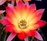 Mammillaria 736-27
