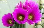 Echinopsis 860-45