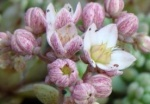 Hygrophila