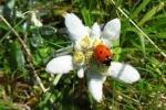 Edelweiss .