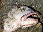 Dédé la sardine