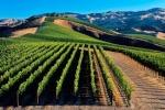 Vineyard'