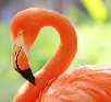 Flamenco Naranja