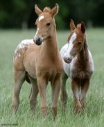 Kiger_Mustang