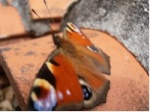 papillondu16
