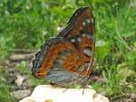 papillonfleur