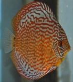 poisson-pompadour
