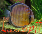 Pascal 77