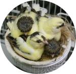 Canarybreeder