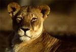 Mokambie_Lioness