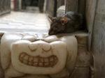 cheshire_rat