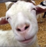 Une chèvre génocidaire