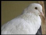 joyful_pigeon