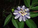 Passifloraaffinis