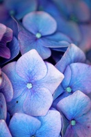 Hortense Blue