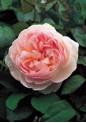 Florine Rose