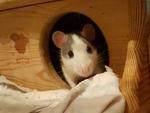 Rattenschmusserli