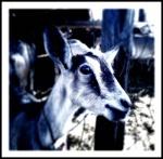 La Chèvre Bleu