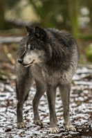 Night River Pack Wolves 32-53
