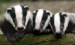 badgerbadgerbadger