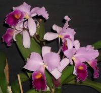 Sonstige Orchideen 202-14