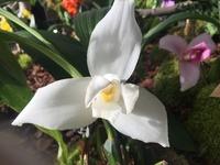 Identifikation für Orchideen 2237-86