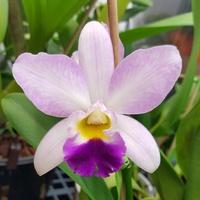 Dendrobium Hybriden 275-92