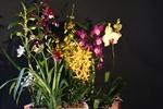 Phalaenopsis Hybriden 291-41