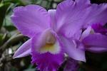 Dendrobium Hybriden 447-85