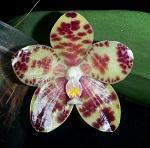 Phalaenopsis Hybriden 641-72