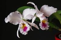 Phalaenopsis Hybriden 865-3